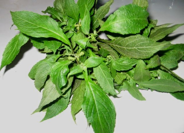 9 Health Benefits of Scent Leaves ( Efinrin)   National Insight News